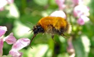 Bee Tongue